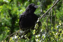 Amongst a backdrop of lush green deciduous trees, a black crow sits atop a tree branch. It peers to its left with its beak open slightly and wings at its sides.