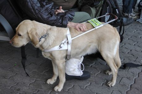 a. A guide dog in their harness stands facing the left as its owner sits surrounded by other people. The owner has her right hand placed on the dog's back. This particular image is not that of Chad Nelson or his guide dog Laura. It is an example of what a guide dog looks like with their harness on.