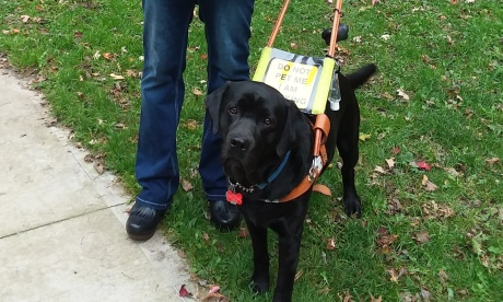 "Sully, a black lab, stands on a patch of green grass that is littered with fallen leaves. He wears a brown leather harness that features a neon yellow sign that reads ""DO NOT PET ME – I AM WORKING."" His head is slightly cocked to the left, and he looks forward with big, brown eyes. Sully's owner, Janell, is standing next to him and is pictured from the waist down. She wears dark blue jeans and a pair of black clogs."
